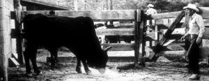 """Junior Bonner""Steve McQueen1972 ABC / Booth-Gardner © 1978 Bill AveryMPTV - Image 1340_0003"