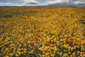California Wild Flowerscirca 1960s© 1978 Sid Avery - Image 13675_0026