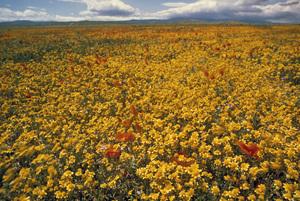 California Wild Flowerscirca 1960s© 1978 Sid Avery - Image 13675_0026