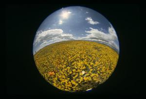 California Wild Flowers circa 1960s © 1978 Sid Avery - Image 13675_0029
