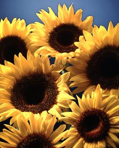 FlowersSunflowers1992 © 1992 Ron Avery - Image 14772_0002
