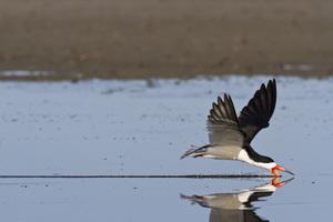 Pea Island National Wildlife Refuge, Hatteras, North Carolina2015© 2015 Deede Denton - Image 24368_0078