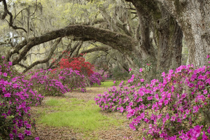 Magnolia Plantation, Charleston, South Carolina2016© 2016 Deede Denton - Image 24368_0136