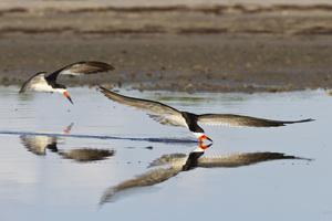 Pea Island National Wildlife Refuge, Hatteras, North Carolina2015© 2015 Deede Denton - Image 24368_0202