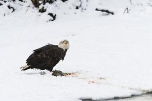 Alaska Chilkat Bald Eagle Preserve, Haines, Alaska2016© 2016 Deede Denton - Image 24368_0269