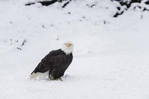 Alaska Chilkat Bald Eagle Preserve, Haines, Alaska2016© 2016 Deede Denton - Image 24368_0270