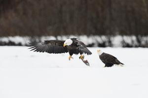 Alaska Chilkat Bald Eagle Preserve, Haines, Alaska2016© 2016 Deede Denton - Image 24368_0272
