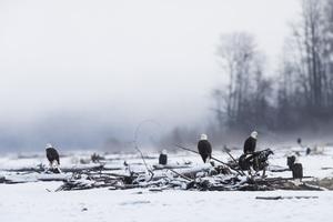 Alaska Chilkat Bald Eagle Preserve, Haines, Alaska2016© 2016 Deede Denton - Image 24368_0274