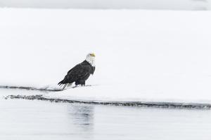 Alaska Chilkat Bald Eagle Preserve, Haines, Alaska2016© 2016 Deede Denton - Image 24368_0287