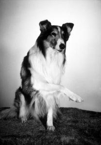 """Lassie""C. 1958 CBSPhoto by Gabi RonaMPTV - Image 7553_0026"