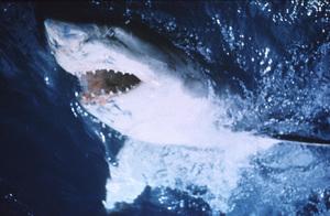"""""""Jaws"""" © 1975 UnivesalPhoto by Bud Gray - Image 9575_0015"""