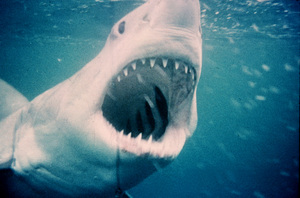 """""""Jaws""""The shark1975 Universal Pictures - Image 9575_0038"""